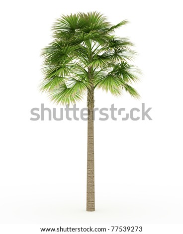 Sabal palm isolated over white
