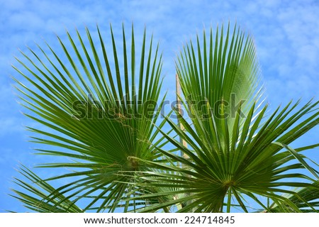 Sabal palmetto (Cabbage palmetto) leaves against cloudy blue sky - stock photo