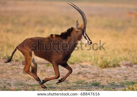 Sable Antelope, Chobe National Park, Botswana - stock photo