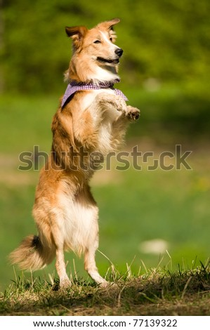 sable border collie dog portrait in summer - stock photo