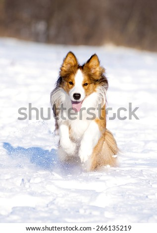 sable border collie runs in winter - stock photo