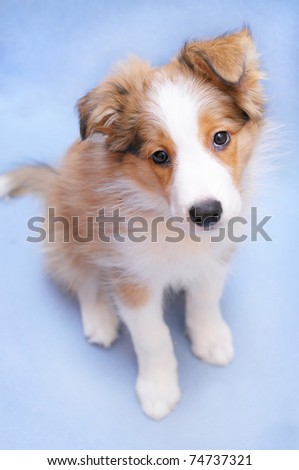 Sable color border collie puppy on the blue background - stock photo
