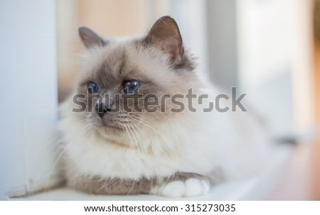 Sacred Birman Cat - stock photo
