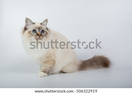 Sacred Birman Cat, birma isolated on a white background, studio photo