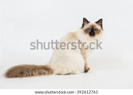 Sacred Birman Cat white background isolated - stock photo
