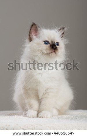Sacred Birman kitten, birma Cat