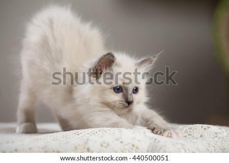 Sacred Birman kitten, birma, fun
