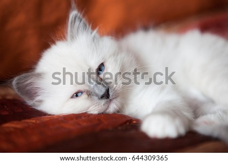 Sacred birman kitty on bed