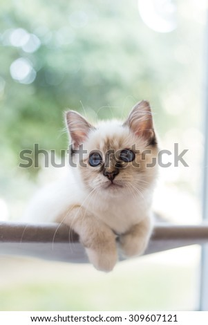 Sacred Burmese cat - stock photo