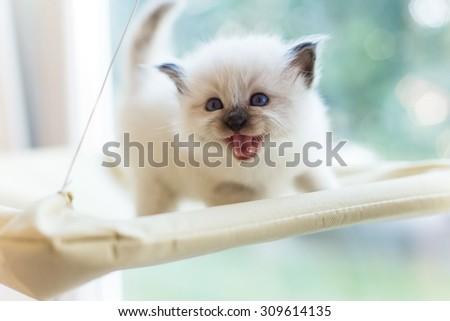 Sacred Burmese kitten - stock photo