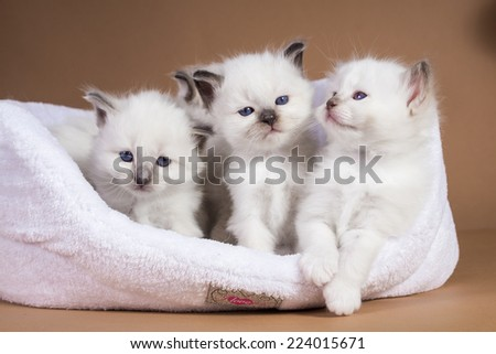 Sacred cat,cats, kittens, tibetan monks, back background, blue eyes, isolated