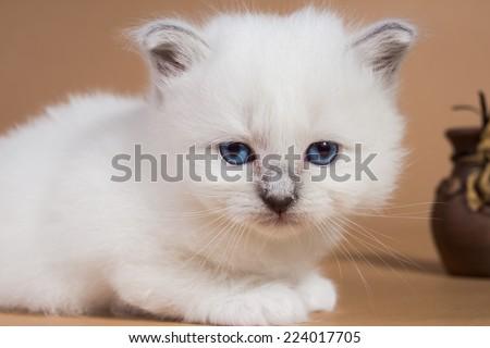 Sacred cat,kittens, tibetan monks, back background, blue eyes, isolated  - stock photo