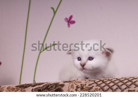 Sacred cat,kittens, tibetan monks, blue background, blue eyes - stock photo