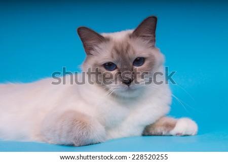 Sacred cat, tibetan monks, blue background, blue eyes, isolated  - stock photo