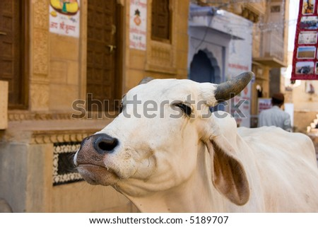 Sacred cow in jaisalmer street - stock photo