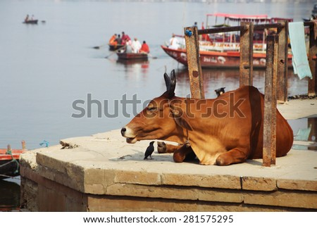 Sacred Cows Enjoy Bathing at Ganges. Varanasi, India - stock photo