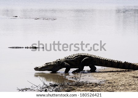 Sacred crocodiles of Sabou in Burkina Faso - stock photo