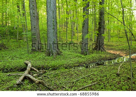 Sacred Grove - old growth hardwood forest and marsh - stock photo