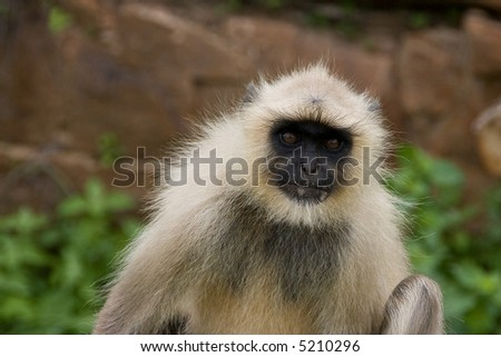 Sacred monkey in indian temple - stock photo