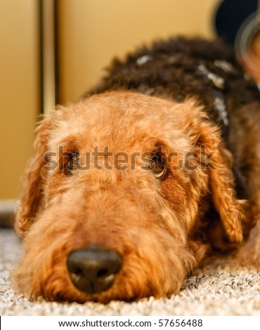 Sad airedale terrier dog close up laying head down with eyes looking up