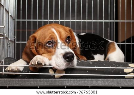 Sad Beagle Dog lying in cage - stock photo