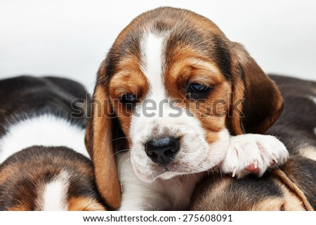 Sad  Beagle Puppy, 1 month old,  lying in front of white background. muzzle puppy close-up - stock photo