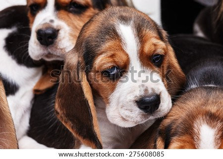 Sad  Beagle Puppy, 1 month old. muzzle puppy close-up - stock photo