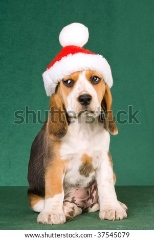 Sad Beagle puppy with santa cap hat on green background