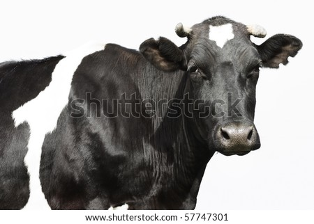 Sad black cow over gray background - stock photo