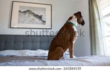 Sad Boxer Sitting on Owner's Bed and Looking Outside the Window - stock photo