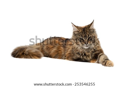 Sad cat breed Maine Coon lying on a white background. - stock photo