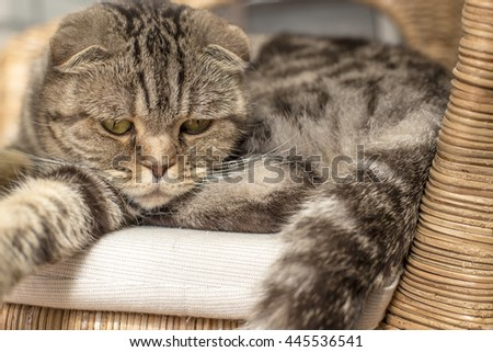 sad cat lies on a rattan chair and looking down - stock photo