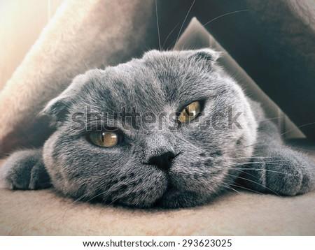 Sad Cat Scottish Fold Lying in His House - stock photo