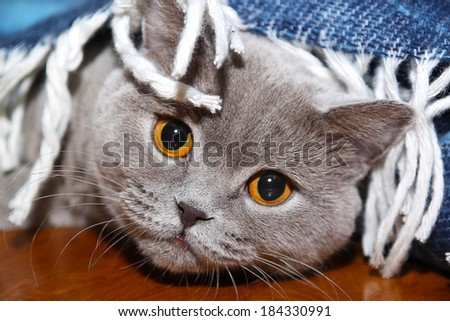 Sad cat under the coverlet - stock photo