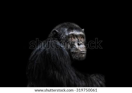Sad chimp portrait black background. - stock photo