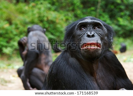 Sad chimpanzee bonobo ( Pan paniscus)   portrait. At a short distance, close up. The bonobo ( Pan paniscus)  formerly called the pygmy chimpanzee - stock photo