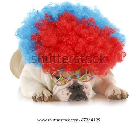 sad clown - english bulldog with sour expression dressed up with clown wig and peace glasses with reflection on white background - stock photo