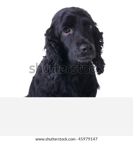 Sad Cocker Spaniel Dog above white banner. Add your text underneath. - stock photo