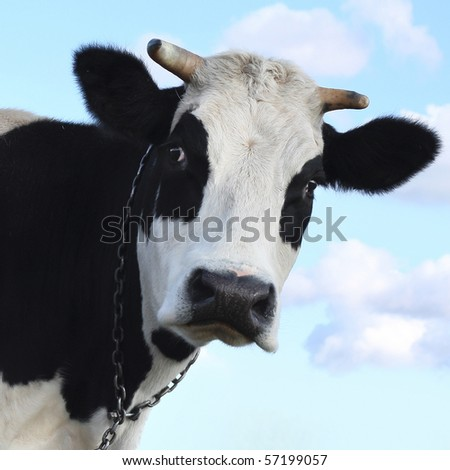 Sad cow over blue sky background - stock photo
