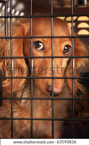 Sad dachshund dog behind bars in a cage. - stock photo