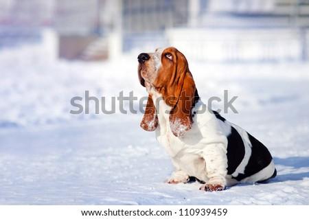 sad dog Basset Hound sits in winter - stock photo