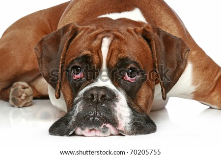 Sad dog german Boxer breed, lies on a white background - stock photo