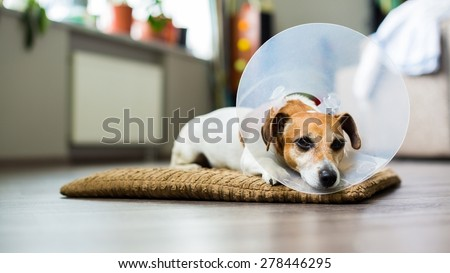 Sad dog lying on a bed sick with vet plastic Elizabethan collar