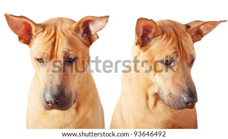 Sad dog: two photos over white background. - stock photo