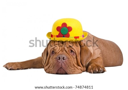 Sad dogue de bordeaux with yellow bowler (derby) hat is waiting for summer - stock photo