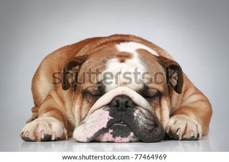 Sad English bulldog lying on a grey background. Close-up portrait - stock photo