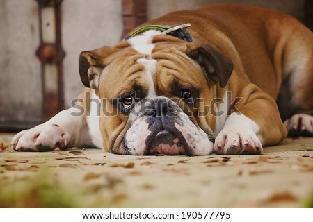 Sad Dog Stock Images Royalty Free Images Amp Vectors