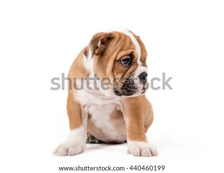 Sad English Bulldog puppy sitting isolated on white background
