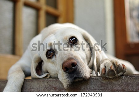 sad-eyed white dog lying - stock photo
