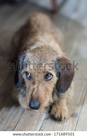 Sad eyes on a cute dog laying on the wooden floor / Sad dog  - stock photo